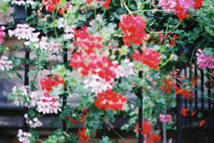 (Núria Gribs) Tags: berlin flowers flower redflower colors nature blurry blurred 35mm ishootfilm film filmphotography filmisnotdead fujifilm iso200 color200 praktica analog