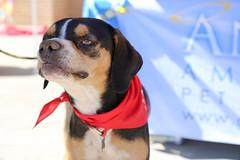 dudleywalker-5994 (angelsrescue) Tags: aau pets angels among us pet rescue alpharetta ga dog love