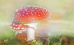 Amanita muscaria. (augustynbatko) Tags: toadstool mushroom forest nature macro mist outdoor view muchomor las grzyb makro rossotoadstool fungo amanita muscaria