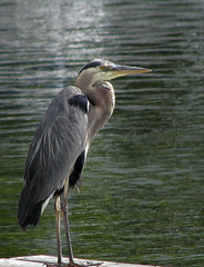 Heron on dock (11-7) (mapleleaf16-11-56) Tags: ocean city bridge trees sunset sky snow ontario canada hot reflection fall ice beach nature beautiful robin sunshine birds fog female clouds barn docks fence landscape landscapes boat log woodpecker rocks hummingbird nest cardinal florida country barns scenic parks bluejay finch chickadee swallow muskoka boathouse northern housefinch purplefinch leacock lay orillia baltimoreoriole treeswallow beautifulhotbirds