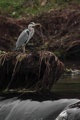 IMG_1713.jpg (Kico Lopez) Tags: birds rio spain aves galicia handheld ardeacinerea lugo mio garzareal 500mmf8 3m5a