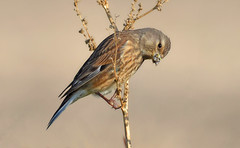 Pintarroxo - Linnet - Carduelis cannabina (Yako36) Tags: bird portugal ave birdwatching peniche ferrel tc14e nikonafs300f4 nikond7000