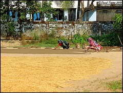 2 Women Laying Dung Mix to level Ground for Rice Drying @ Khan Bari (dark-dawud) Tags: house wall women asia asians rice working culture agriculture saree sylhet bangladesh dung plasticbuckets ricedrying ricecrops nobiganj khanbari khalaborpur spreadingdung usinghandstospreaddung