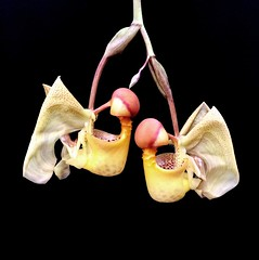 Coryanthes macrantha (Real Jardn Botnico, CSIC) Tags: madrid orchid flower flor orchidaceae botanicalgarden orqudea realjardnbotnico gerardotorres