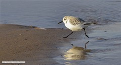 Sanderling on a mission! :) (Gary Pearson Norfolk landscape photography) Tags: