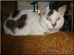 Tiger (nhaps34) Tags: cats kittens kitties felines catsitter