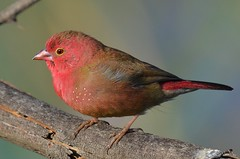 Red-billed Firefinch (Lagonosticta senegala) (Ian N. White) Tags: gaborone botswana redbilledfirefinch lagonostictasenegala senegalfirefinch