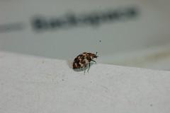 Varied carpet beetle - Anthrenus verbasci. (Procrustes2007) Tags: uk england insect suffolk britain wildlife flash nikond50 sudbury invertebrate coleoptera anthrenusverbasci wildlifephotography variedcarpetbeetle tamron2xteleconverter nikkor50mmais vivitarextensionrings68mmtotal d50macro01012015