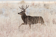 Prancing Deer