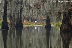 Great Egret - Morning On Lake Martin, Louisiana (Image Hunter 1) Tags: nature island eos louisiana great bayou swamp 7d spanishmoss mk2 marsh cypresstree preservenature martincypress conservancycanon egretmorningwaterreflectionwater hyacinthgreengreenerywhitemosscypresslake