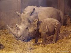 Rhino baby 5 weeks (through glass), 4 (Finn Frode (DK)) Tags: baby copenhagen zoo calf rhinoceros kbenhavn dicerosbicornis nsehorn