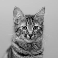 Basile (SylvainMestre) Tags: portrait bw cat chat nb basile