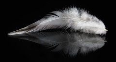 White Feather (KellarW) Tags: white detail macro reflection chicken mirror soft snowy feather fluffy reflected mirrored detailed onblack focusstack whitefeather stackedfocus focusstacking focusstacked stackfocus mr14ex 14shots softfeather canon100mmf28l canon5diii 5diii philipshue norcalchickens norcalchickenscom