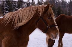 Cheval en hiver 1 (turgeon.johanne) Tags: horses horse animal cheval ferme chevaux jument bête étalon
