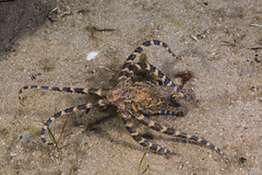 Disturbed blue ringed octopus (Hapalochlaena maculosa) (runwildtv) Tags: blue sea brown black cold toxic yellow rock warning walking cool dangerous display victoria ring rings camouflage octopus intertidal threat ringed poisonous deadly venomous temperate maculosa hapalochlaena