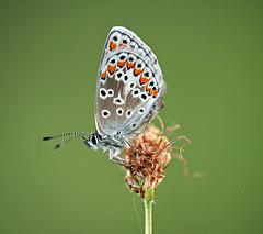 Argus (Juergen6363) Tags: green nature butterfly nikon butterflies sigma lepidoptera grn schmetterlinge schmetterling 180mm naturfotografie naturaufnahme specanimal tagfalter d700 naturdokument tagaktiverschmetterling