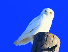 snowy owl 2 near Lime Springs IA 854A2199 (lreis_naturalist) Tags: county snowy howard reis iowa larry springs owl lime