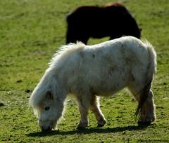Shetland ponys (Simon Dell Photography) Tags: horses cute church yard landscape village district derbyshire peak awsome tiny views ponies tame shetland minature ponys castleton