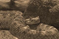 Mojave Desert Sidewinder (Cruzin Canines Photography) Tags: blackandwhite nature animal animals closeup canon dangerous desert reptile snake calm mojave naturepreserve califorina poisonous topaz sidewinder desertsnake mojavedesertsidewinder canonrebelt2i topazlabsbweffects