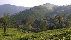 Ooty, tea estate