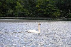 Trumpeter Swan on Lucas