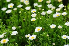 daisy (ddsnet) Tags: plant flower sony taiwan 99 daisy marguerite   taoyuan  slt         singlelenstranslucent 851 99v
