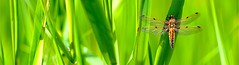 photo nature minimaliste panoramique / libellule et lumire d'un matin de printemps (BOILLON CHRISTOPHE) Tags: green nature photo bokeh lumire couleurs vert minimalism printemps insecte libellule pdc panoramique chamonixmontblanc 200mmf2gvr nikond4 photomacrodinsecte photoboillonchristophe