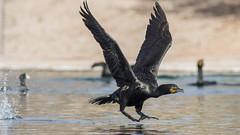 Double-crested Cormorant (JME_Photos) Tags: