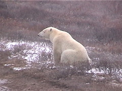 Polar Bear Churchill 12