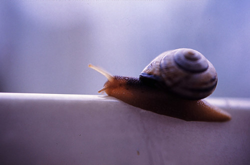 "02 Hain-Bänderschnecke (Cepaea nemoralis) 1984 • <a style=""font-size:0.8em;"" href=""http://www.flickr.com/photos/69570948@N04/16695970845/"" target=""_blank"">View on Flickr</a>"