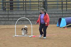 agility236 (jaimekay16) Tags: dog training austin agility k9 xpress nadac k9x