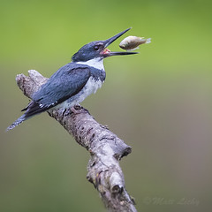 Snack Time (mLichy911) Tags: seattle summer fish green bird nature canon king action wildlife snack fisher wa pnw 500f4 7dmarkii