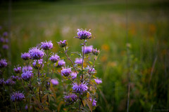 Wildflowers (michaelraleigh) Tags: flowers green field canon outdoors 50mm serene f18 secluded infocus highquality myrebigisland
