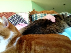 I Am NOT a Cat Bed! (linda_lou2) Tags: buddy charlie jekyll odc breaktherules