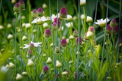 Purple & White (ROPhoto77) Tags: flowers white green garden purple fresh allium coastalmainebotanicalgardens