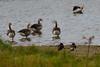 Greylag goose (Anser anser) (LauriusV) Tags: netherlands nl noordholland oosterend familyanatidae orderanseriformes genusanser englishgreylaggoose speciesanseranser lithuanianpilkojižąsis