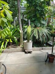Amorphophallus titanum (horsepj) Tags: bloomington indiana iu greenhouse aroid flower inflorescence plant green