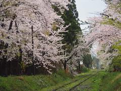 (ChihPing) Tags:        sakura   japan   olympus em5 omd aomori