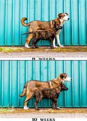 8-10 weeks (Maria Zielonka) Tags: hund hunde dog dogs hundefotografie hollandse herder herdershond herdershonds shepherd hollndischer schferhund hollndische schferhunde flensburger land daemon maria zielonka fotografie photography outdoor welpen welpe puppy puppies shooting tier haustier