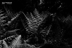 Understory (Paul T McDowell Photography) Tags: 2016 blackandwhitephotography bright camera canonef70200f28lisusm canoneos5dmarkii cloudy colour cookstown countytyrone day digital drummanor fineartphotography forest hiking horizontal image landscape landscapephotographer lens nature northernireland orientation outdoor park paultmcdowell paultmcdowellphotography people photography places season spring time unitedkingdom weather year