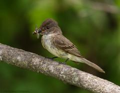 Afternoon Snack (PrettyCranium) Tags: bird birds animal animals nature wildlife canada phoebe easternphoebe