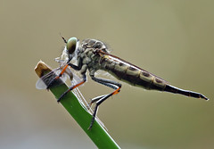 Killer... (karthik Nature photography) Tags: macro nature animals garden kill insects robberfly prey predator naturephotography macrophotography macroworld animalworld gardenphotography insectphotography macrolife robberflycloseup