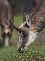 Voisins de table -*---  (Titole) Tags: grass eating chamois thechallengefactory titole nicolefaton