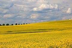 Rapeseed Field, I (louelke - gone a lot) Tags: yellow wow germany oil raps biodiesel canola rapeseed sweetsmelling mustardplants