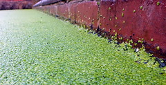July 1 (5) (Droitwich Dwellers) Tags: droitwich droitwichspa worcestershire canal sluice salwarpe algae water wildlife