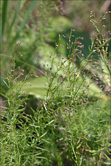 Asperula-purpurea_10 (amadej2008) Tags: taxonomy:binomial=asperulapurpurea galiumpurpureum purplewoodruff purpurmeier purpurmeister krlatnaperla krlatnalakota asperulapurpurea galium purpureum woodruff meier meister perla perle lakota lakote asperula