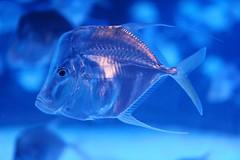 20160804_11484 (Tom Spaulding) Tags: montereybayaquarium monterey ca california montereyca aquarium