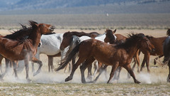 Wild Horses (Jeffrey Sullivan) Tags: california wild horses copyright usa jeff canon lens landscape photography is photo wildlife may sierra l series bodie sullivan eastern ef teleconverter f40 70200mm 2x 2014 70d