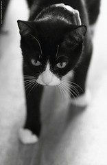 Mittens (SteveH1972) Tags: canon700d canonef70200mmf28lusm cat feline animal pet blackandwhite bw monochrome indoor indoors cute portrait northlincolnshire uk europe black white eyes whiskers catseyes