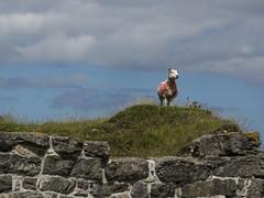 Sheila... (Spokenwheelphotography) Tags: sheep wales cymru halkyn livestock animals countryside rural scenic scenery scenicsnotjustlandscapes nature naturalworld naturephotography